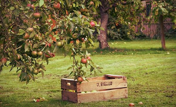 Apple-Orchard---blog